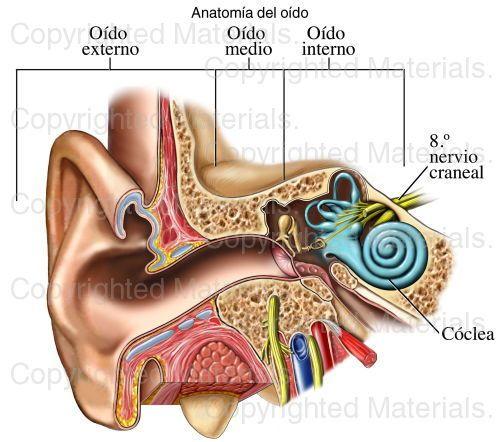 Anatomía del oído | Auditivo | Pinterest | Los oidos, Auditivo y ...