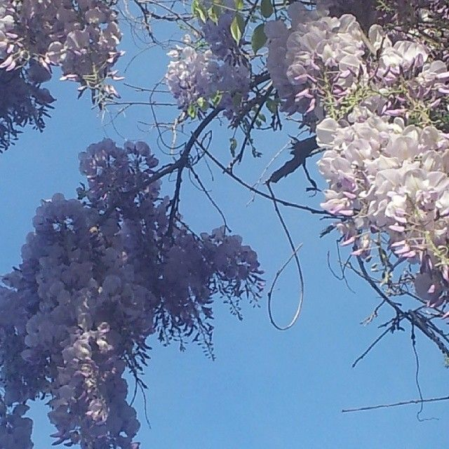 Good morning petals ! Blue skies and 23 degrees forecast for today . Love wisteria #france #blueskies  #morning - @misskickcan- #webstagram