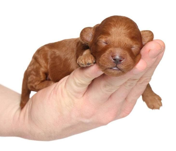Awww Snoozing Poodle Puppy We Love Your Ears Poodle Puppy Sleeping Puppies Cute Puppy Pictures