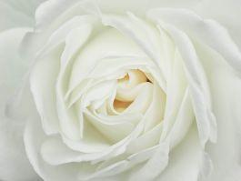 Nahaufnahme einer weißen Rose. Dies ist eine exklusive Fototapete der Marke Wallexclusive. Die Wallexclusive Tapete ist einzigartig und super realistisch. D …
