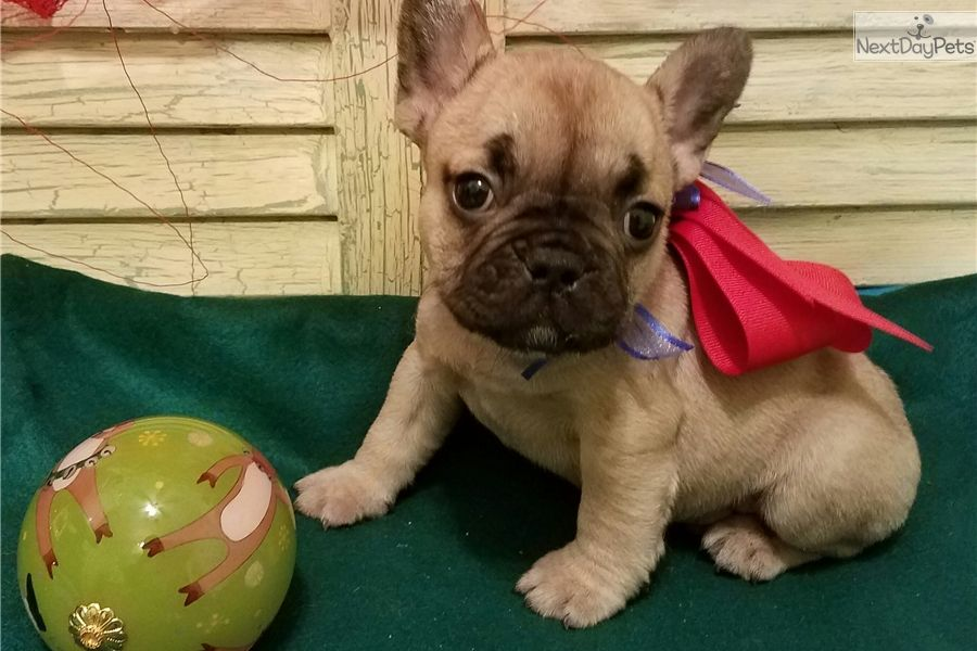 French Bulldog Breeders In Texas References