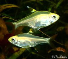Premium Lutino X Ray Pristella Tetra 1 To 1 2 Long Aquarium