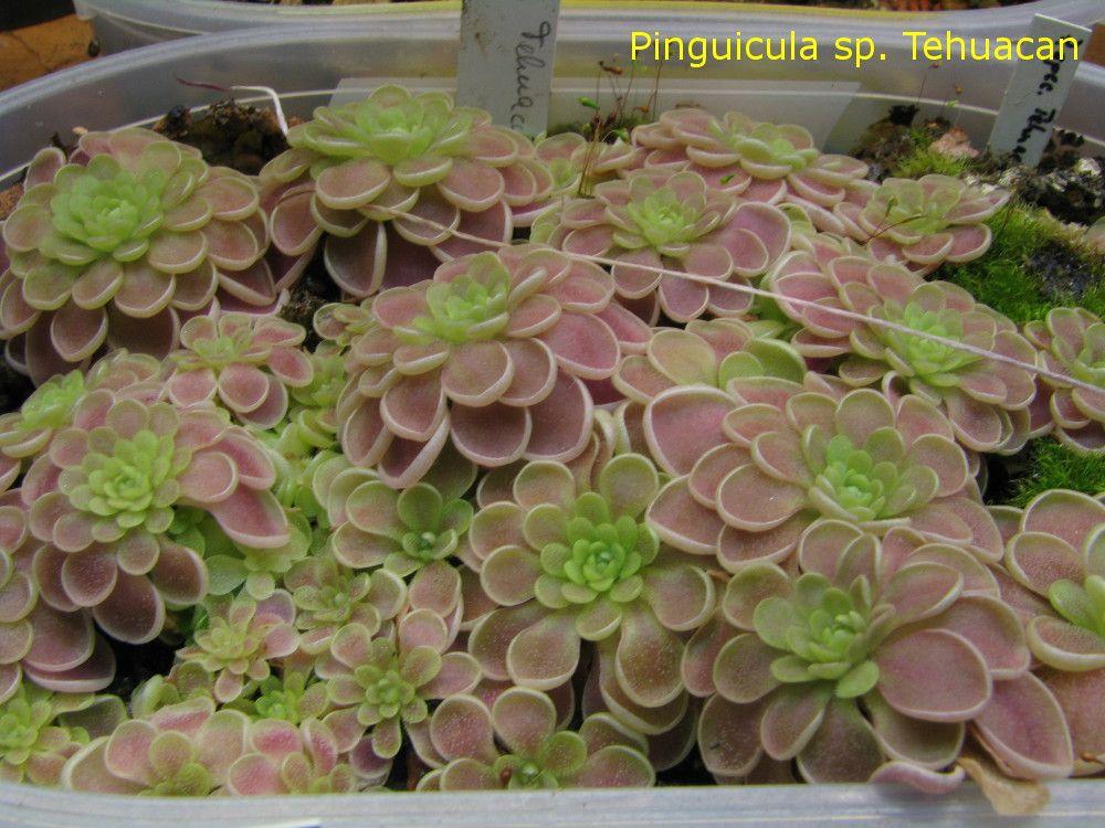 pinguicula tehuacan