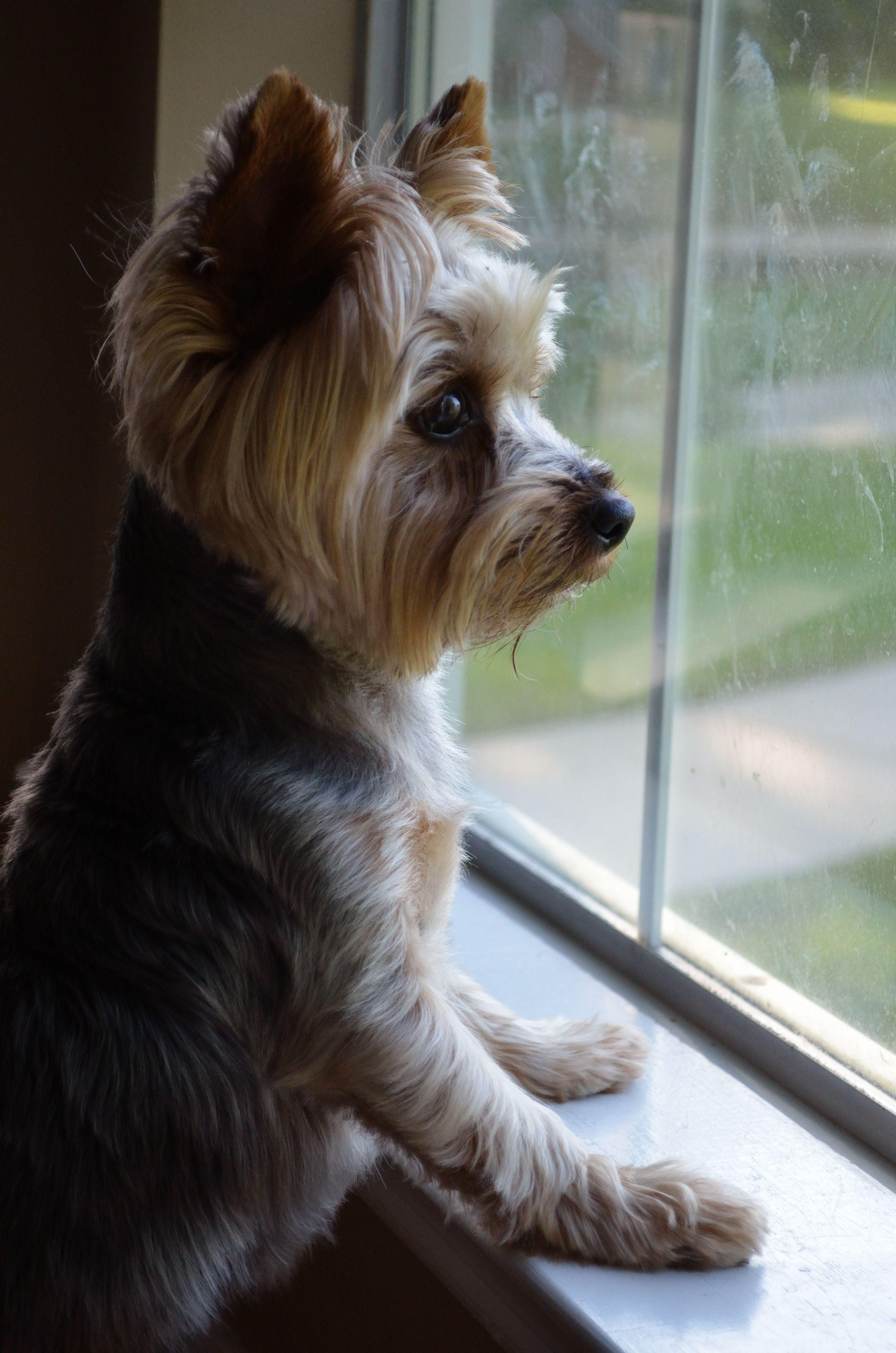 Yorkie I LOVE MY YORKIE Puppy NamesYorkie