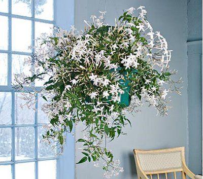 indoor jasmine home fragrance and tea plant all in one. Black Bedroom Furniture Sets. Home Design Ideas