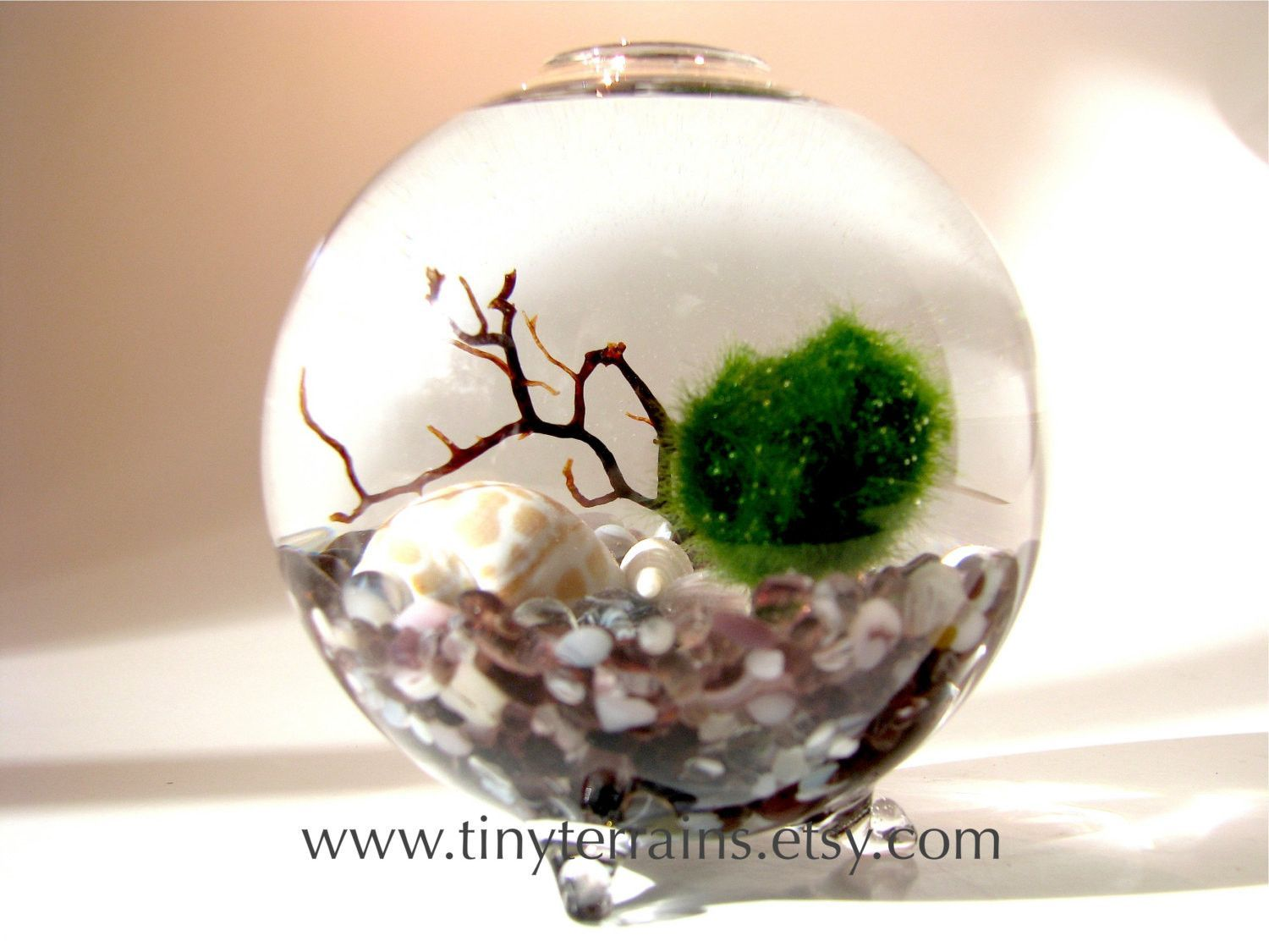 Marimo Moss Ball Globe Terrarium Free 2nd Marimo Ball Several