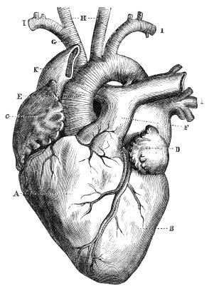 Diagram Of A Human Heart For Kids Boceto Drawings Anatomical