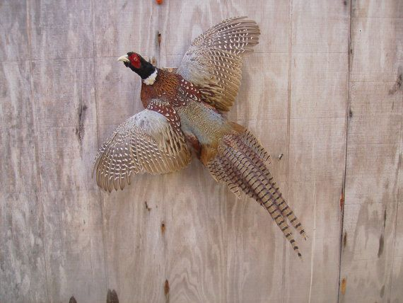 Your Place To Buy And Sell All Things Handmade Pheasant Mounts Rooster Pheasant