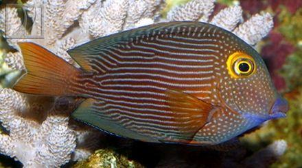 Yellow Eye Kole Tang Vivid Aquariums Buy Online Yellow Eyes Underwater Creatures Saltwater Tank