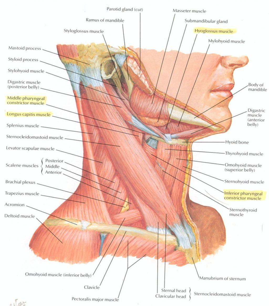 Neck Muscle Anatomy Anatomy Pinterest Neck Muscle Anatomy