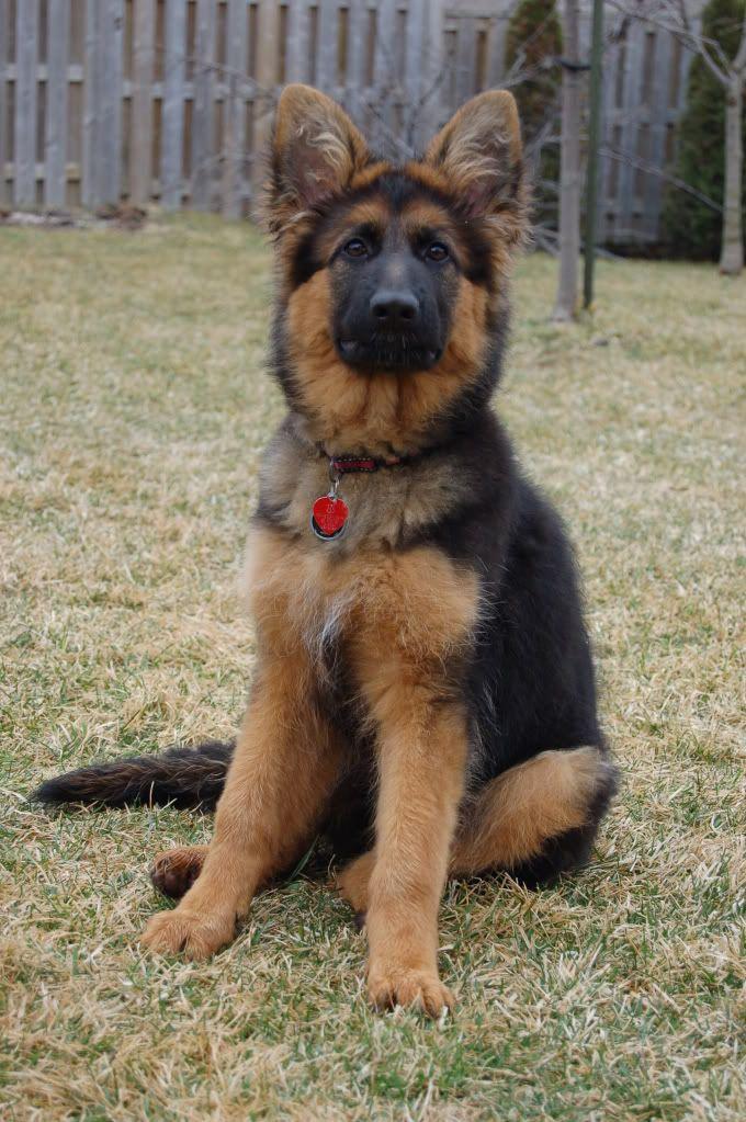 Black Sable Breeders Page 2 German Shepherd Dog Forums