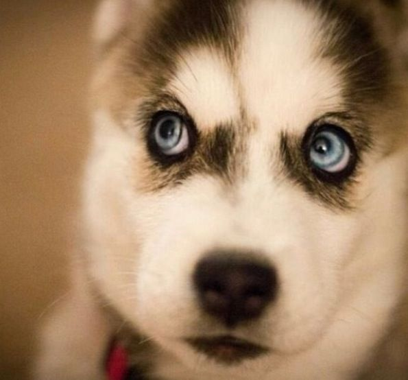 SIberian husky puppy with blue eyes: super cute puppy ...