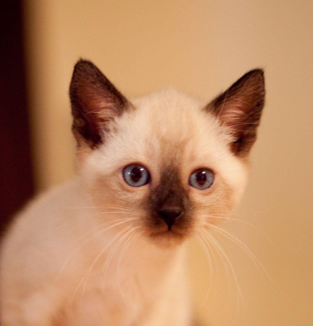 Traditional Siamese kitten Tonkinese cat