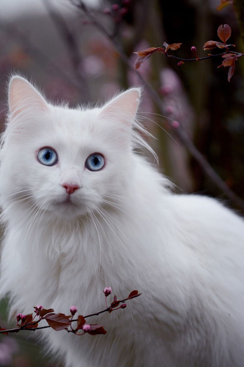 Blue Eyed Cat By Jessica Tekert Angora Cats Cat With Blue