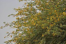 Vachellia Nilotica Medicinal Plants Plant Fungus Tropical Africa