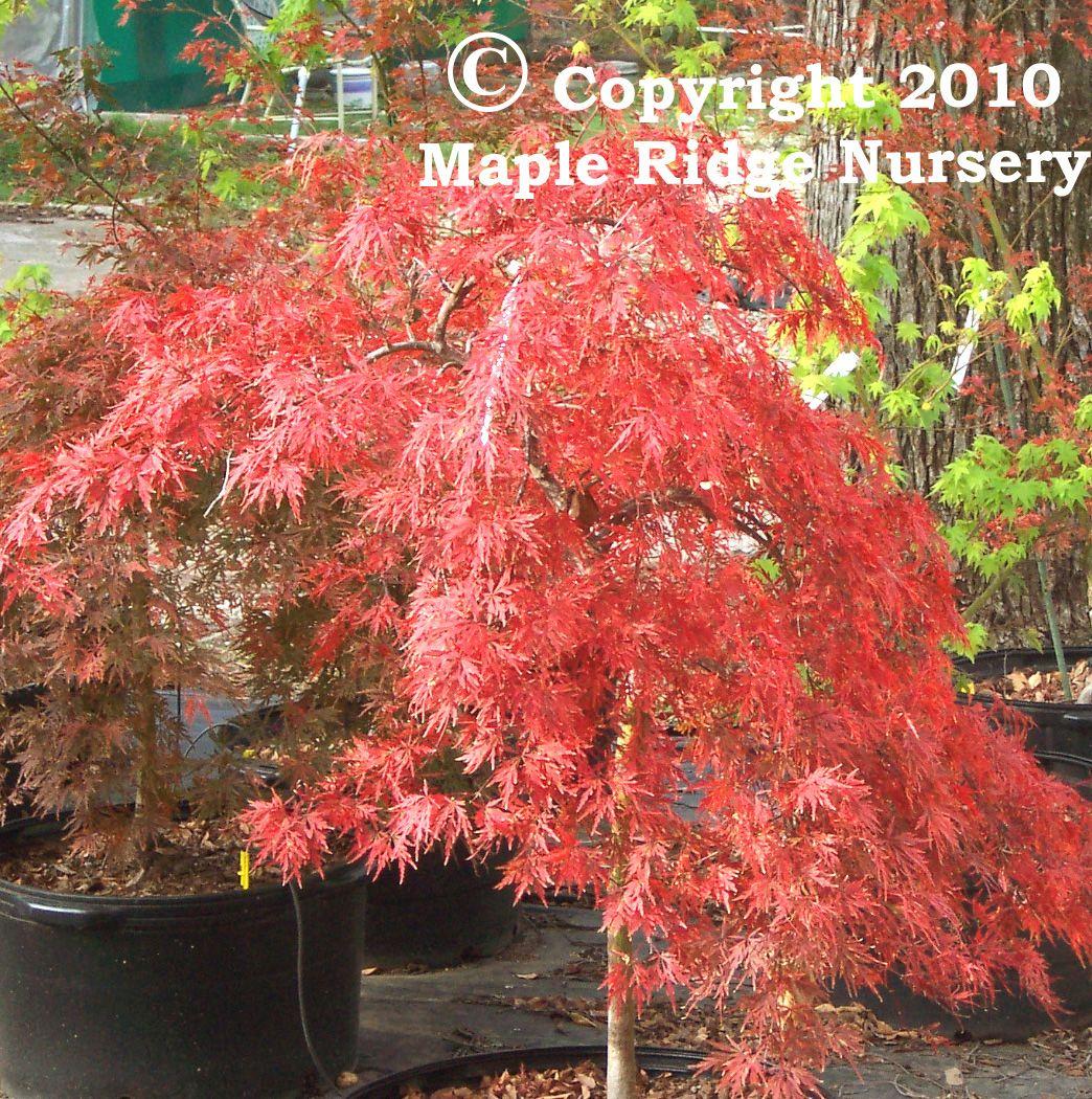 Acer Palmatum Orangeola Orangeola Is One Of The Fastest Growing
