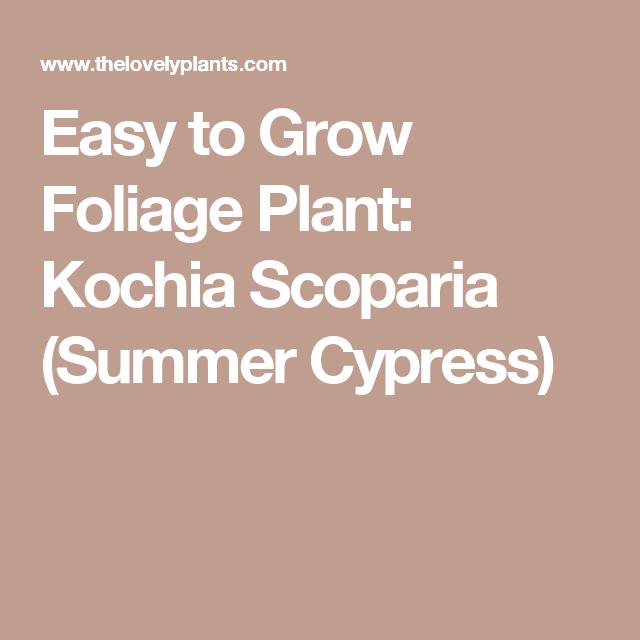Easy to Grow Foliage Plant: Kochia Scoparia (Summer Cypress)