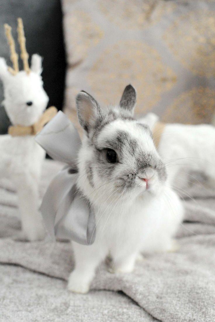 backyard bunnies hasselblad study 1 dwarf rabbit netherland