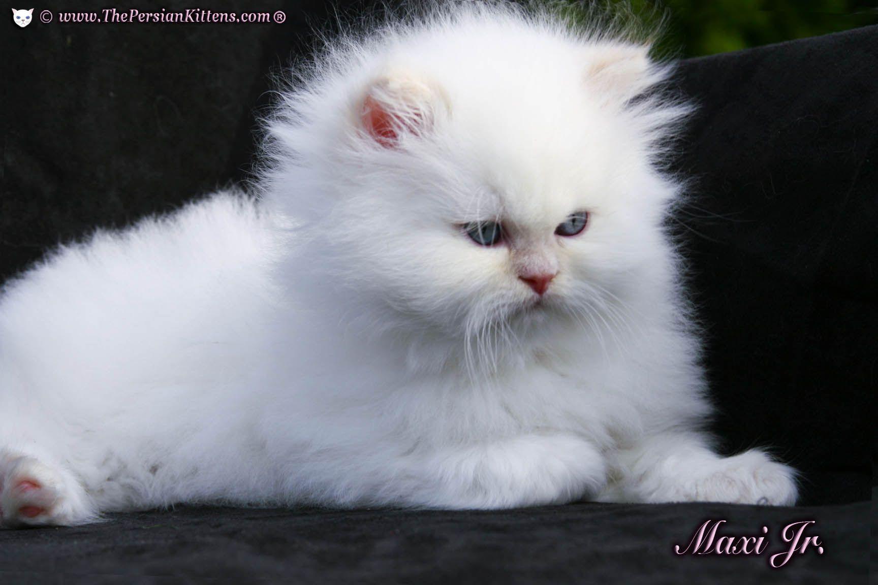 kittens Persian Kittens® Health Guarantee & The Persian