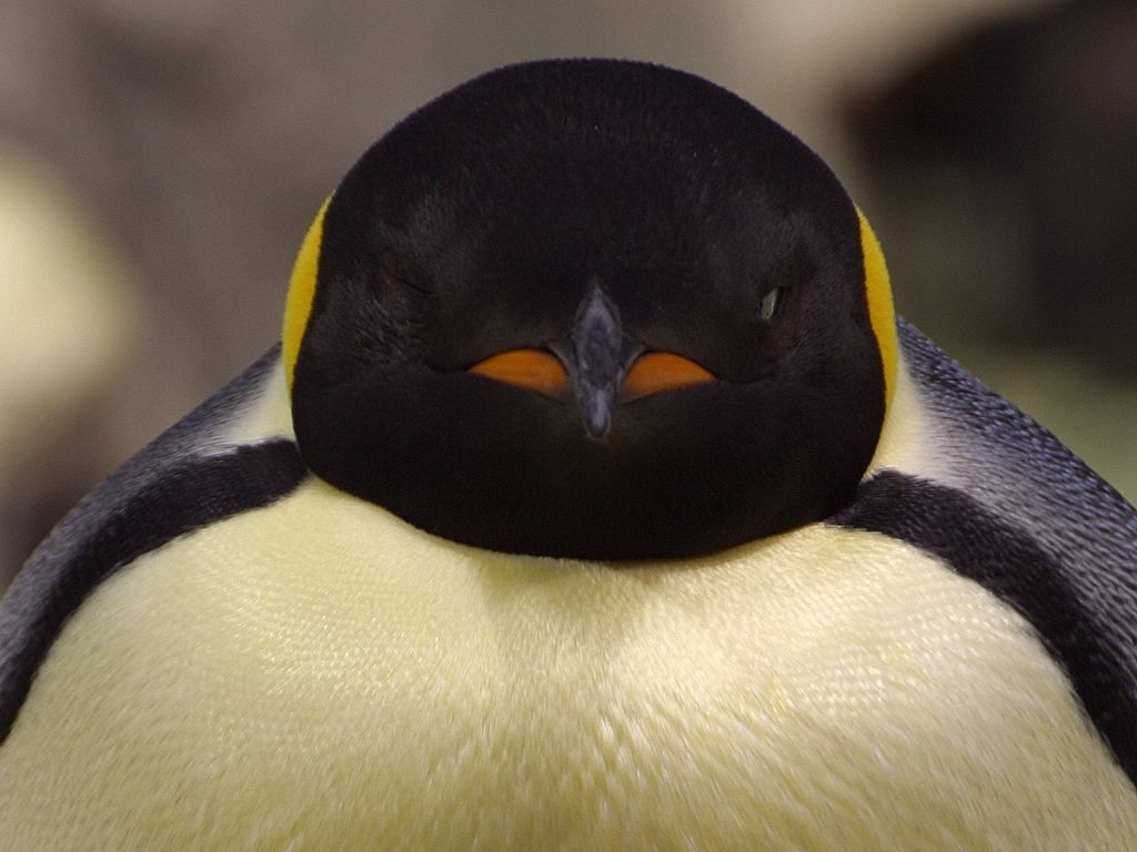 Image result for penguin close up face