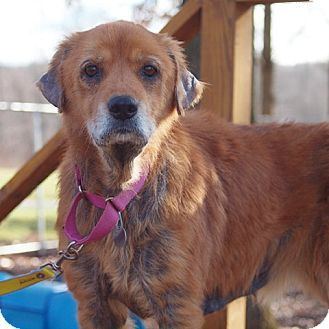New York Ny Golden Retriever Mix Meet Faith A Dog For Adoption
