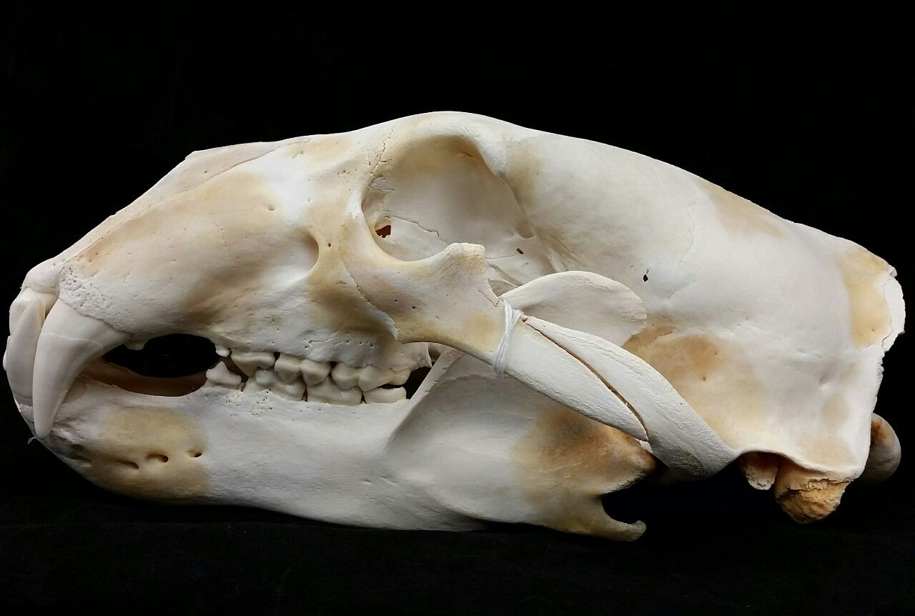 This is a real polar bear skull sustainably sourced from the Inuit