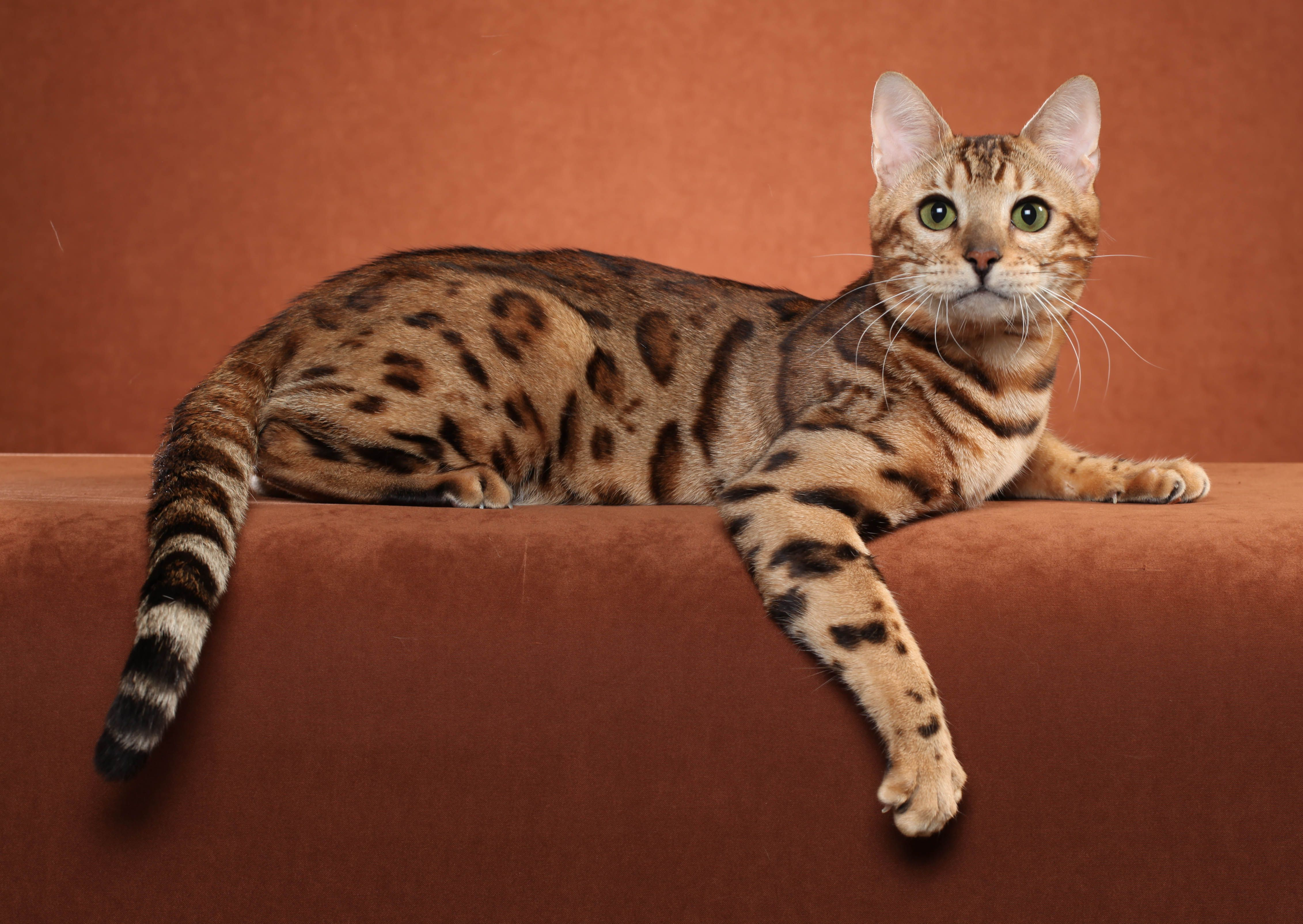 Bengal Kittens For Sale Bengal Cat For Sale Ocicat Bengal Kitten