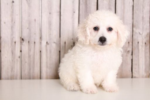 Bichon Frise Puppy For Sale In Mount Vernon Oh Adn 38727 On Puppyfinder Com Gender Male Age 9 Puppies For Sale Bichon Frise Puppy Maltese Puppies For Sale