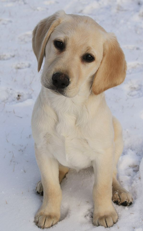 My Yellow Lab Puppy Taken By Kaz S Photography Puppies