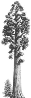 how to draw a redwood tree