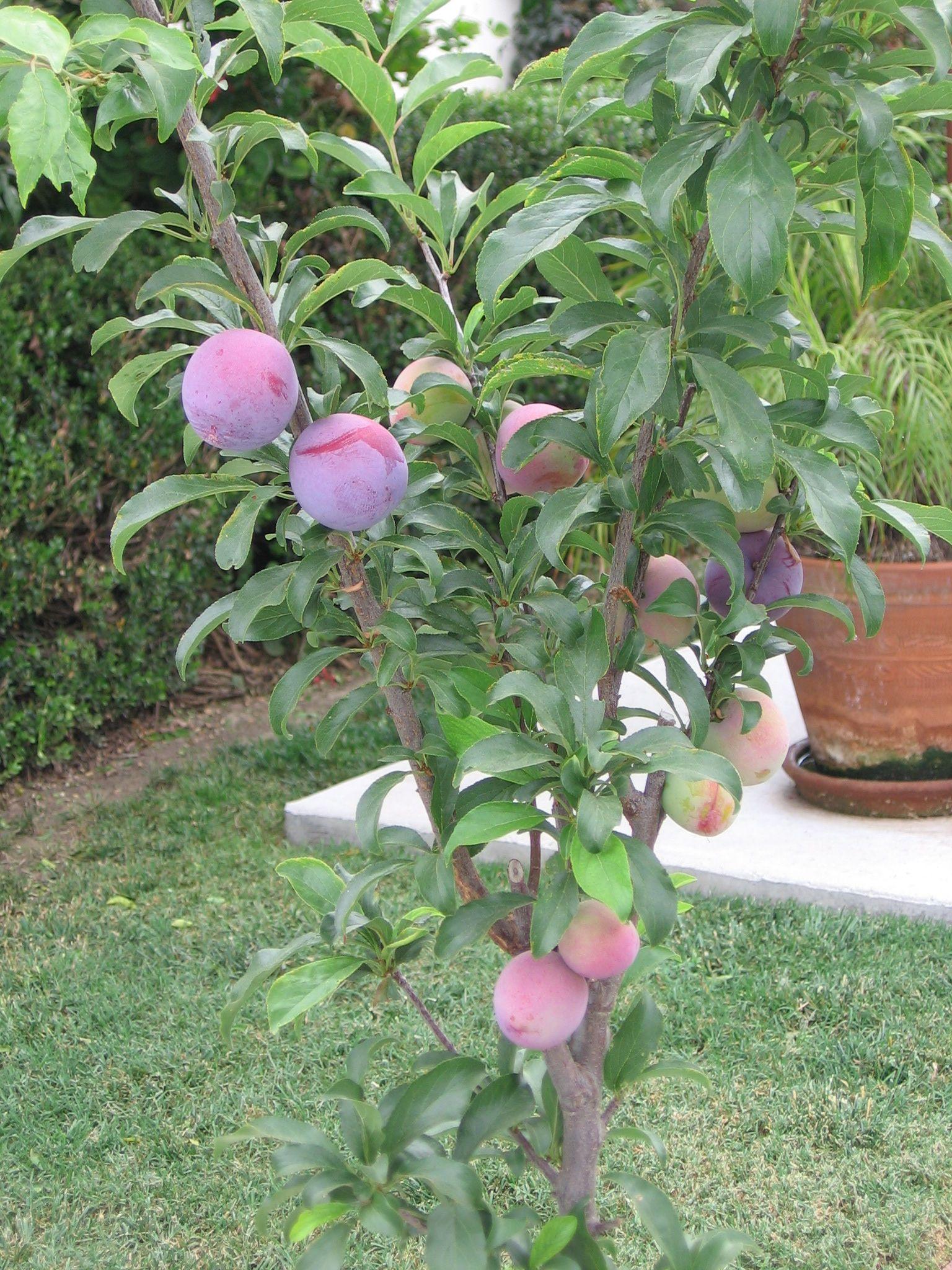 Santa Rosa Ultra Dwarf Plum Tree Plum Tree Dwarf Fruit Trees Fruit Trees