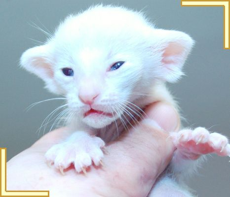 Siamese Kittens For Sale At Siamese Kittens Balinese Cat Kittens