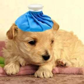 Is Puppy Vomiting Should You Worry Sick Dog Sick Puppies Puppies