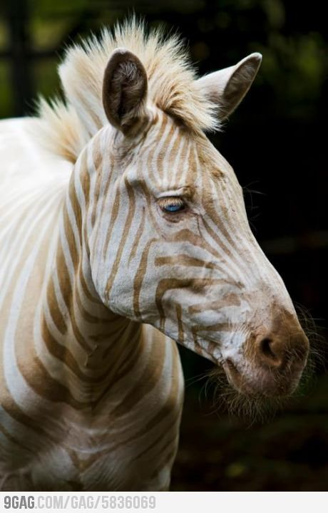 Extremely Rare White Zebra Blue Eyes Gold Stripes Rare Animals Albino Animals Animals