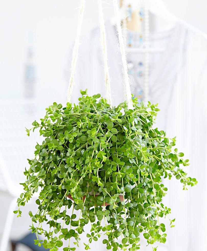 Spiksplinternieuw Hangplant Peperomia 'Isabelle' product foto | Plantjes QF-88