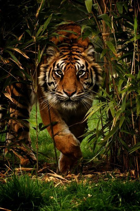 Tiger Photo By Paul Hayes National Geographic Your Shot