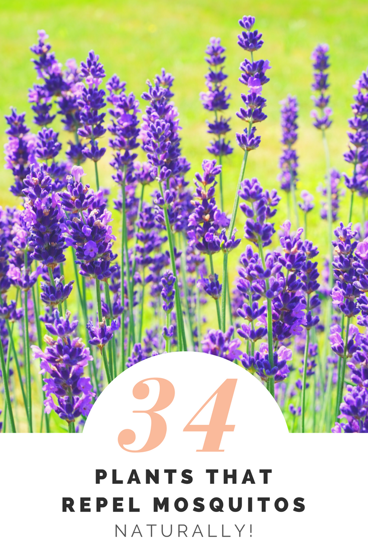 The Ultimate Guide: 34 Plants That Repel Mosquitos Naturally