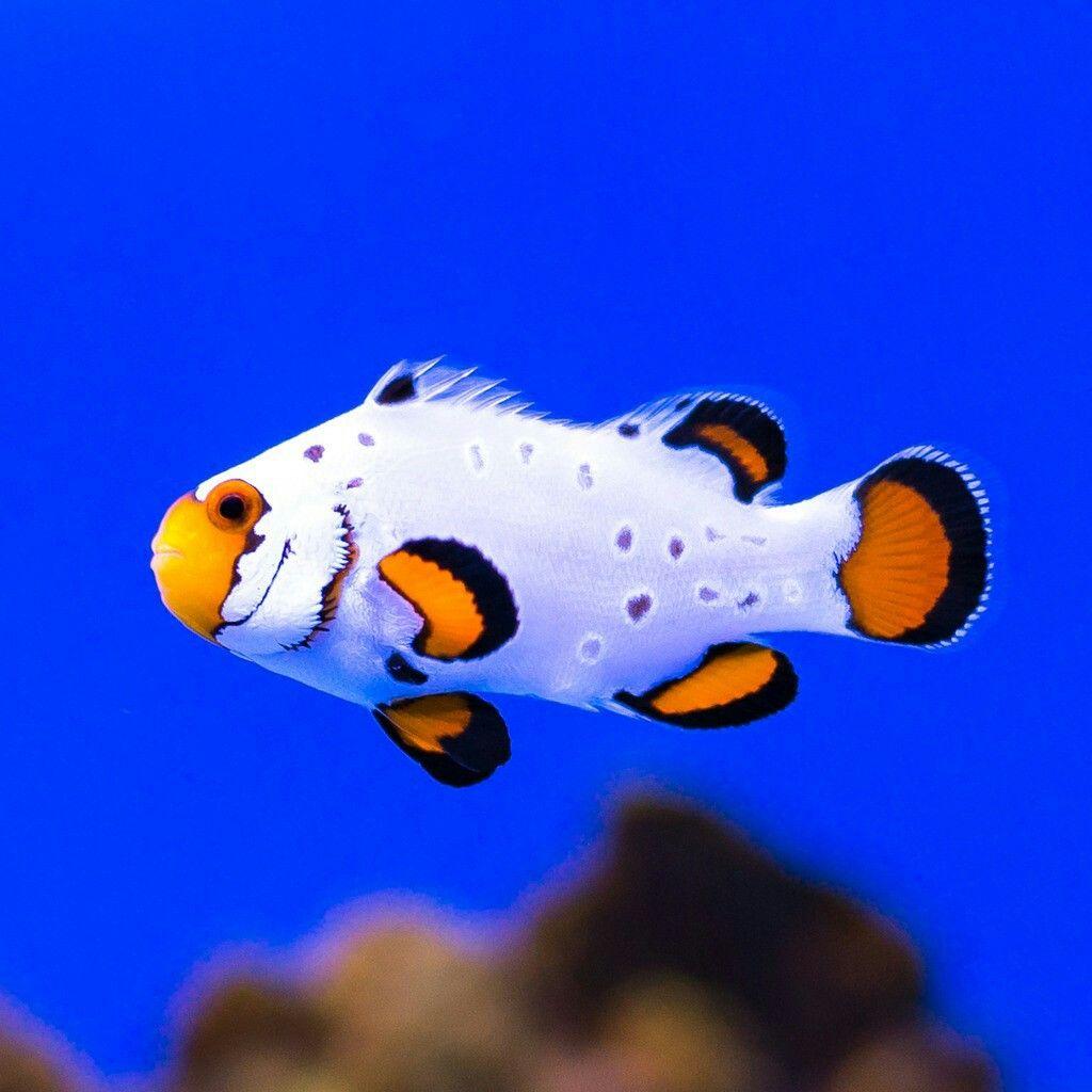 Pin By Sharon Leo On Clownfish Rare Fish Saltwater Fish Tanks Clown Fish