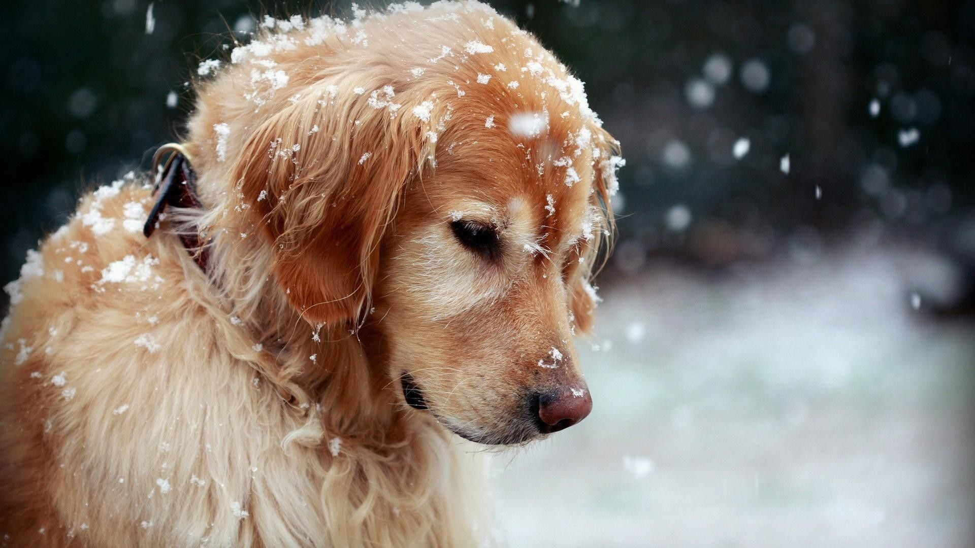 1920x1200 High Resolution Wallpapers Widescreen Golden Retriever Tons Of Awesome Golden Retriever Wallpapers To Download For Free In 2020 Pets Cute Dogs Best Dogs