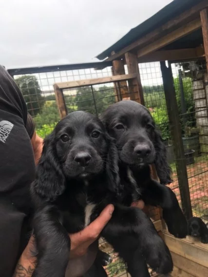 Kc Registered Working Cocker Puppies Caerphilly Caerphilly Pets4homes In 2020 Black Cocker Spaniel Puppies Puppies Black Cocker Spaniel