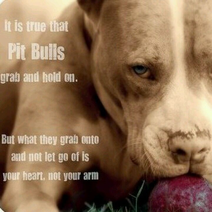It Is True That Pit Bulls Grab And Hold On But What They Grab