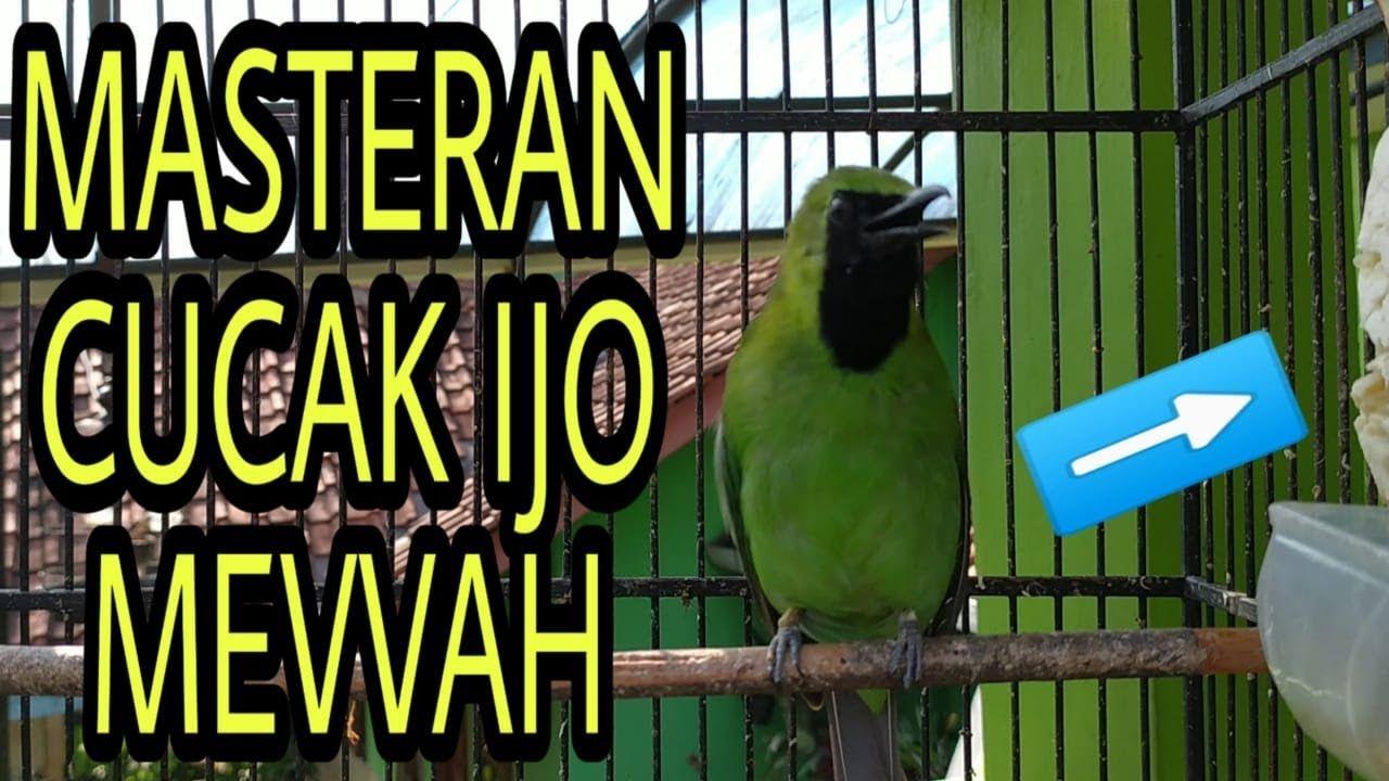 Pasti Nyahut Cucak Ijo Gacor Full Isian Masteran Burung Mewah Burung Sangkar Burung Kemewahan