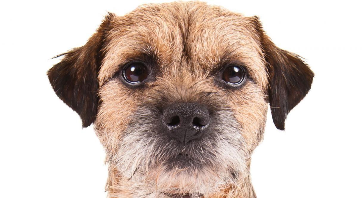 Border Terrier Dog Breed Information Border Terrier Terrier Dog