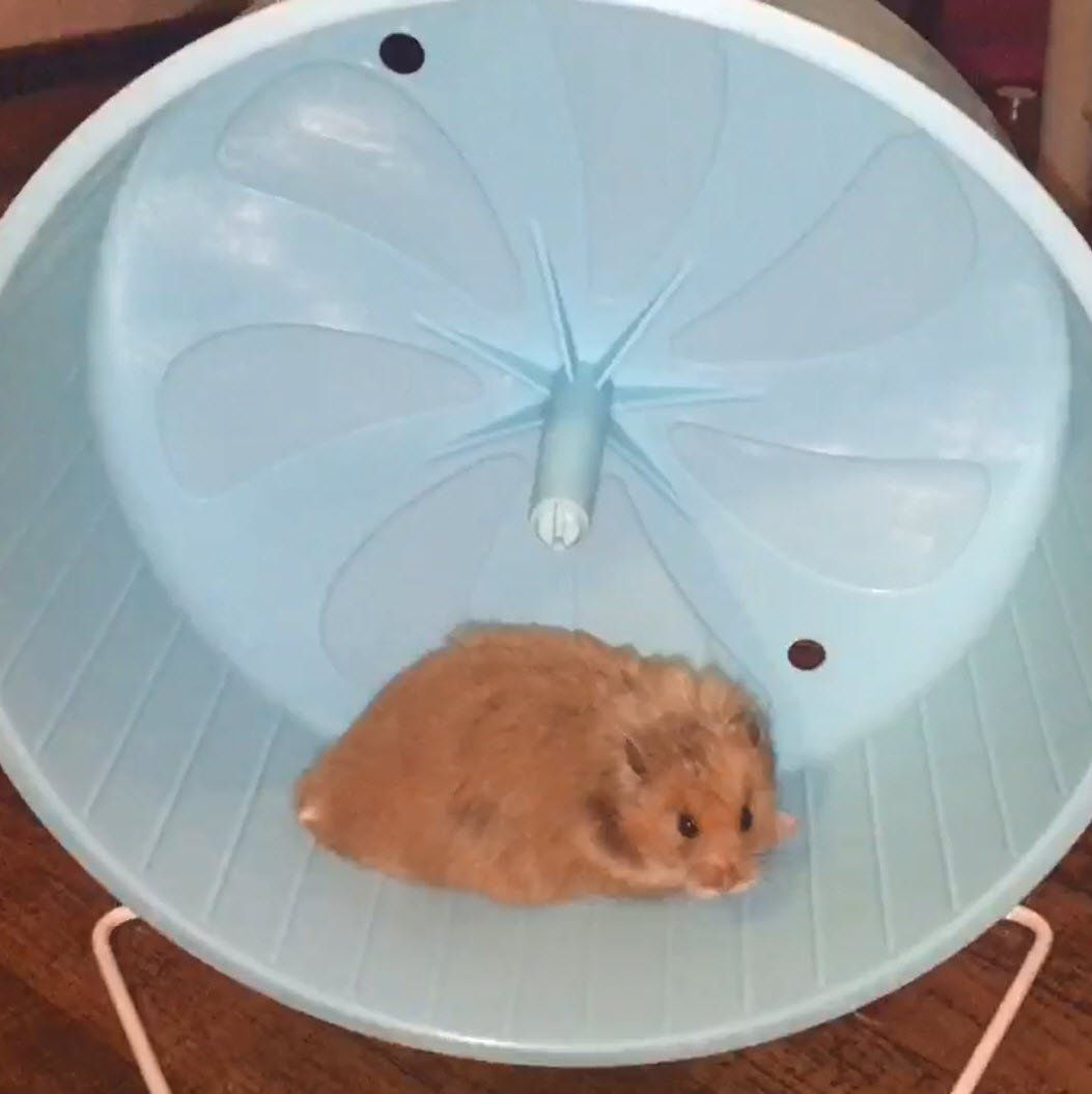 Pennplax 8 Exercise Wheel Perfect For Rats Hamsters Mice Gerbils And Other Small Animals Inspect This Awesome Item By Go Small Pets Exercise Wheel Hamster