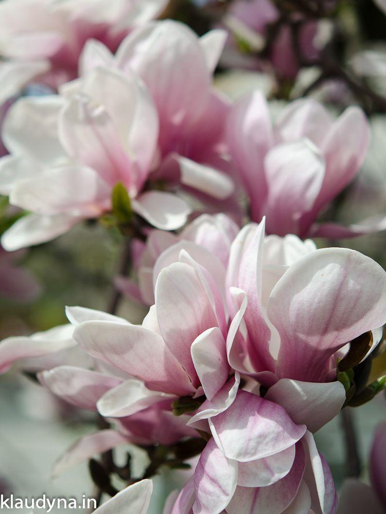 Magnolia Alexandra