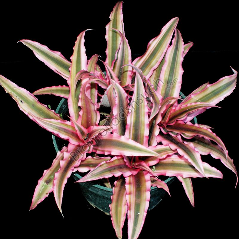 Cryptanthus 39 pink starlight 39 all bromeliads plants - How to plant a flower garden for dummies ...