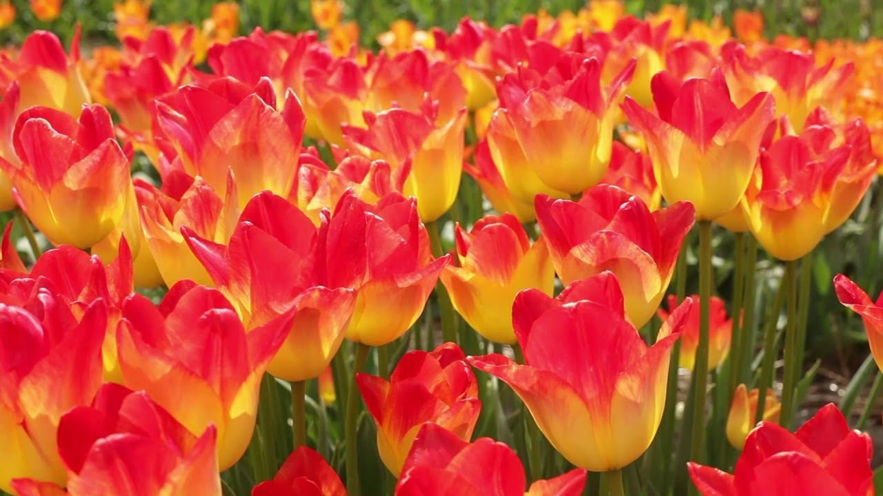 A sneak preview blooming flower bulb fields in spring