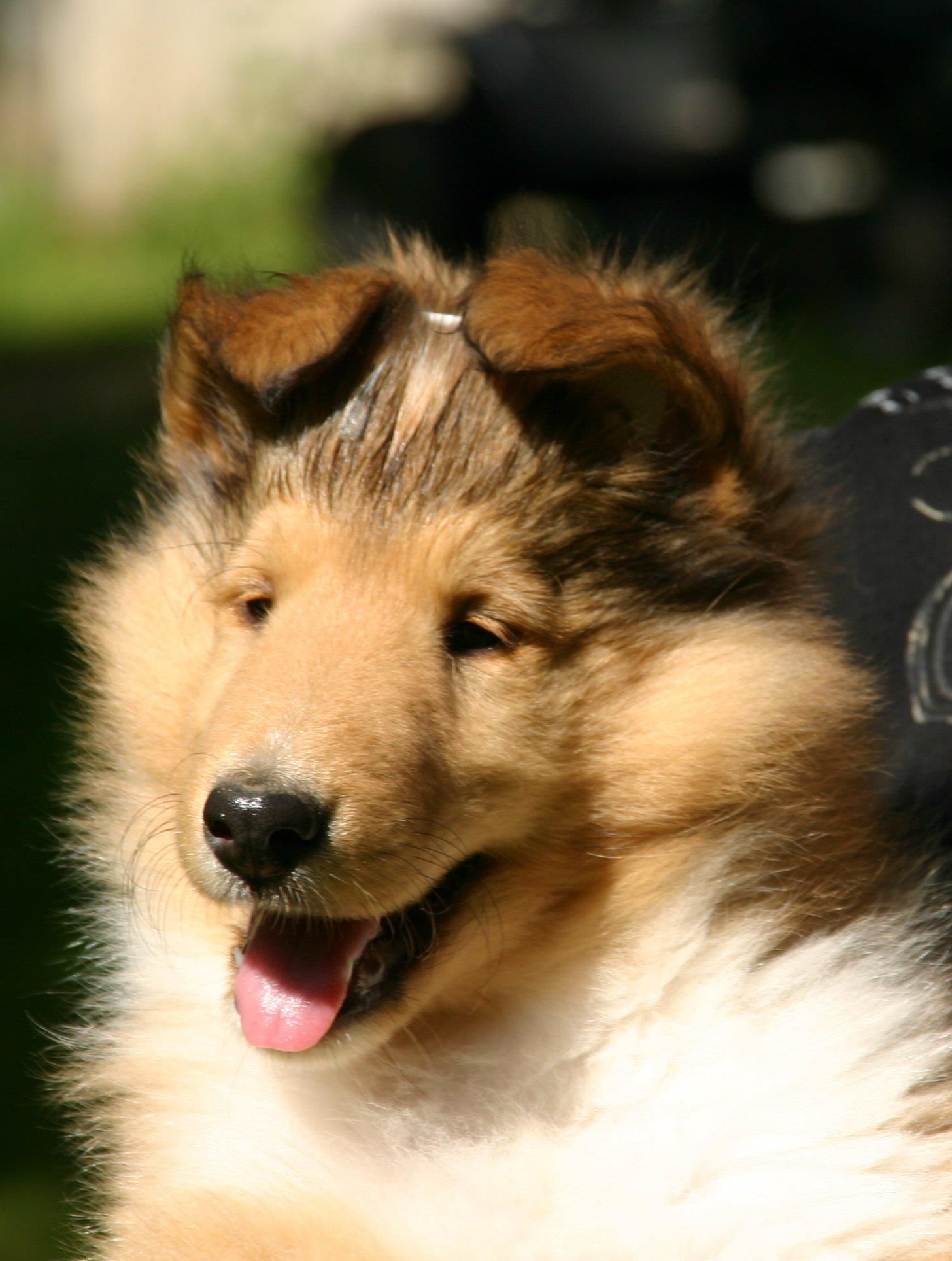 Ennismoor Collie Puppy! Sable and white Rough collie