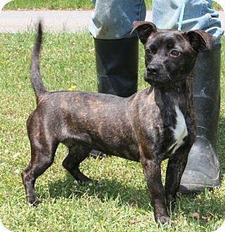 Prattville Al Dachshund Mix Meet Babbs 26463 A Dog For