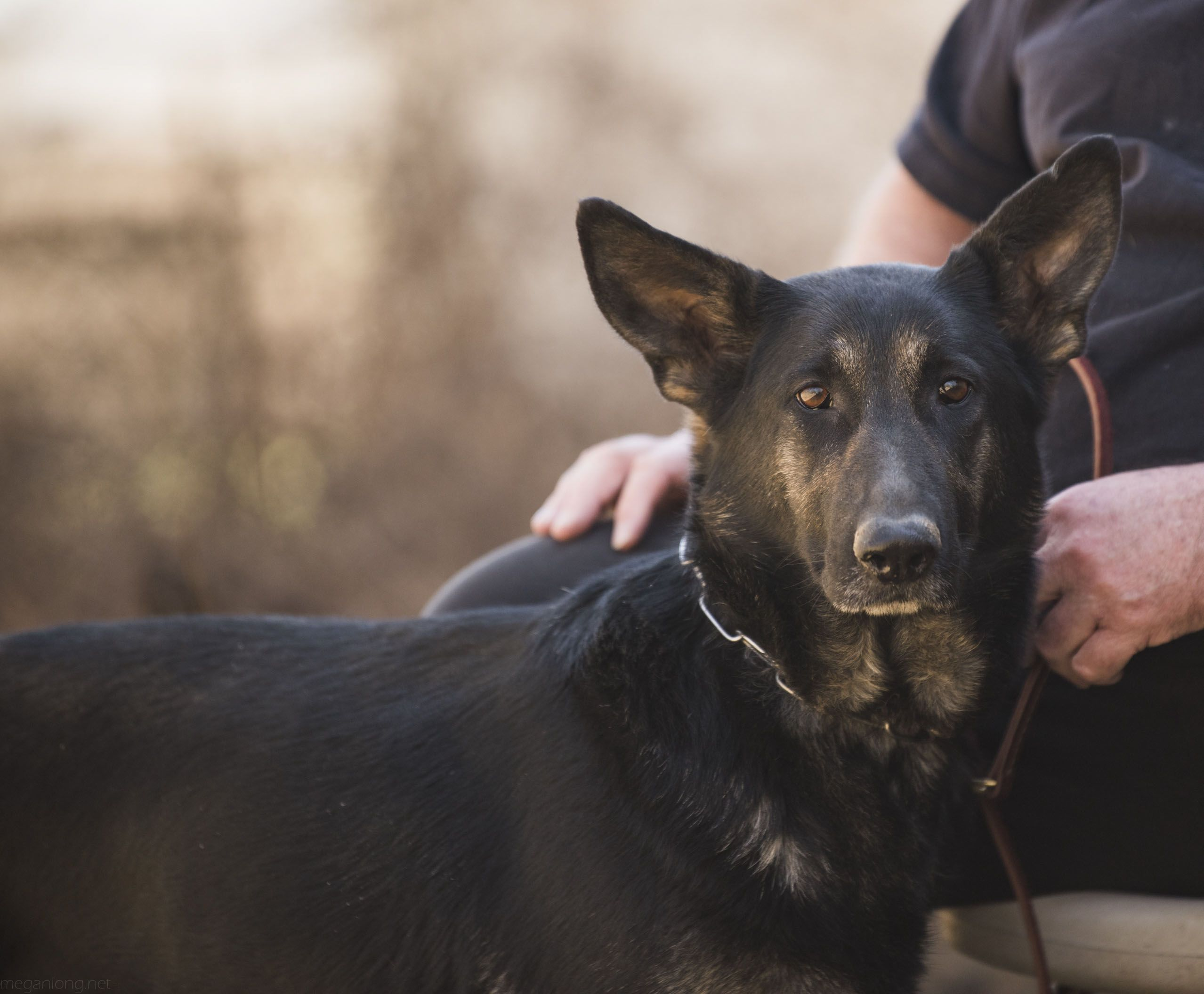 Xandi Vom Golden Haus Goldenhausk9 Com Shepherd Dog Dog Breeder German Shepherd Dogs